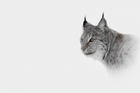 arctic: A high key image of a Lynx in Central Norway.