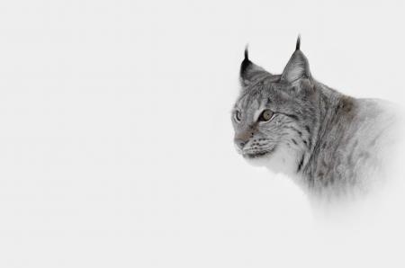 lynx: Wysoki klucz obraz Lynx w Norwegii Centralnej.