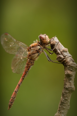 armour plating: Common Darter dragonfly.A side on closeup of the eye structure, body hairs and leg spikes. Stock Photo