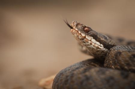 herpetology: A European Adder, Vipera berus, flicks its tongue to taste the air.