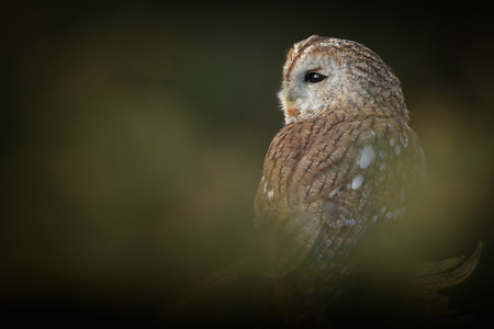 tawny owl: A perched Tawny Owl photographed through a small gap in a gorse bush