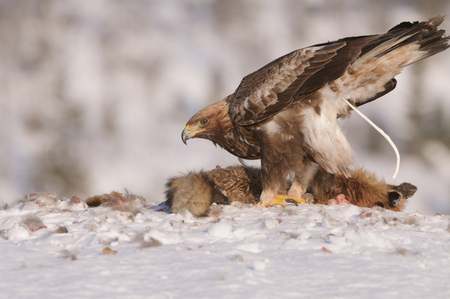 A mature male Golden Eagle defecates whilst feeding on a dead Red Fox carcass. photo