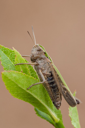 A Meadow Grasshopper perched on Bilberry leaves. photo