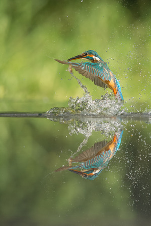 alcedo: A female Kingfisher leaving the water after a successful dive