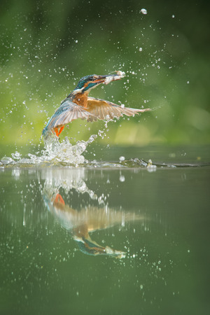alcedo: A female Kingfisher erupts from the water after a successful dive in which she has caught not one, but two minows. Stock Photo