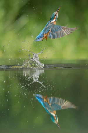 alcedo: A female Kingfisher returning to her hunting perch after an unsuccessful dive for food