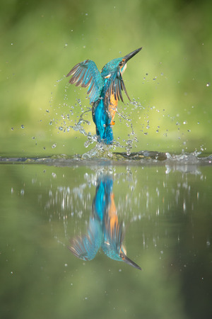 A low angle view of a male Kingfisher, rising from the water after an unsuccessful dive for minows.
