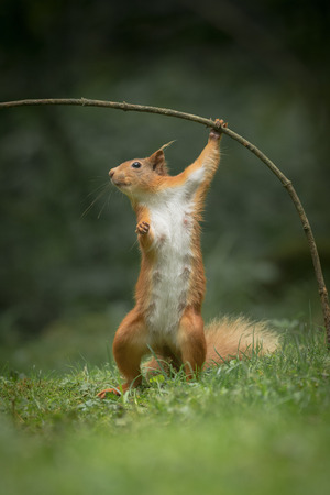 A female Red Squirrel standing up on her back legs and using her front paws to pull a sappling over. Imagens
