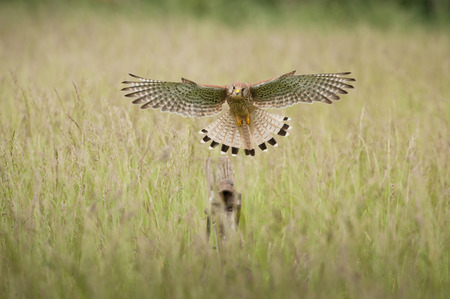 directly: Common Kestrel in flight directly towards the camera. Stock Photo