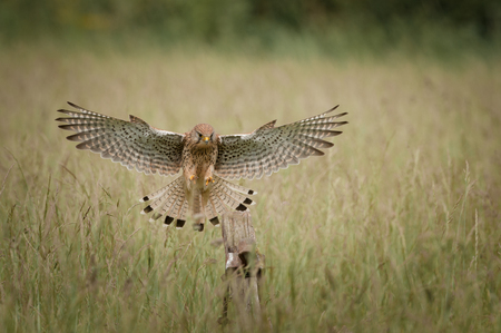 talons: A female Common Kestrel caught in flight and about to land on an old wooden gatepost. Stock Photo