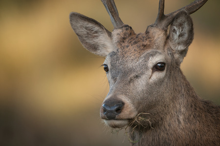 A close up portrait of a young male Red Deer. photo
