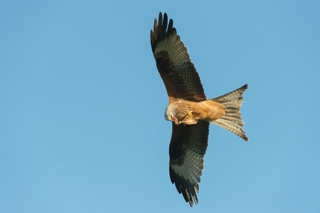 bird eating raptors: Red Kite feeding on the wing while flying against a blue sky.