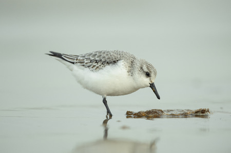 feeding through: A Dunlin wading through shallow water at the edge of the tideline. It is feeding on seal excrement.