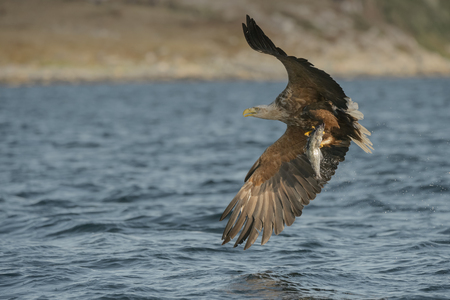 coalfish: A  White-tailed eagle carrying a large Coalfish which it has just caught  Stock Photo