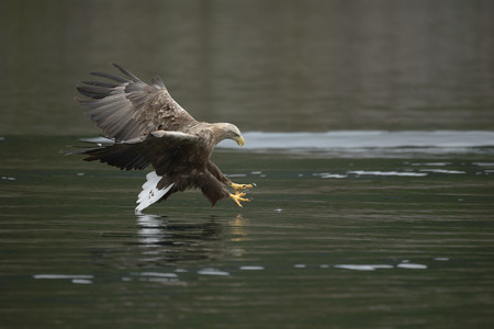 white tailed: A White-tailed eagle a millisecond before making a kill