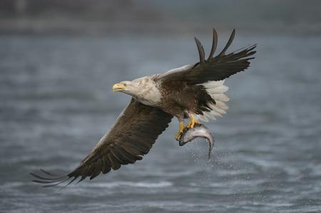 그가 그냥 무더기로 적발됐다 매우 큰 Coalfish를 들고 남성 흰 꼬리 독수리
