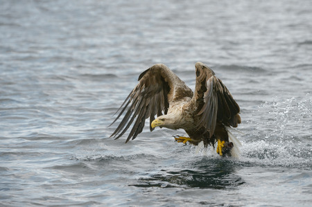 A White-tailed Eagle struggles to lift a very large heavy fish catch from the water of a Norwegian fjord.