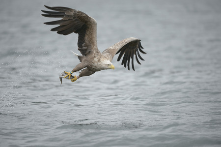frigid: A White-tailed eagle plucks a meal from the frigid waters of a Norwegian fjord. Stock Photo