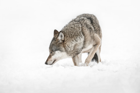 A solitary lone wolf prowls through snow.