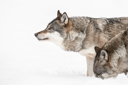 A Grey Wolf looking into the distance while a fellow pack member investigates a scent beneath the snow. Banco de Imagens - 38237945