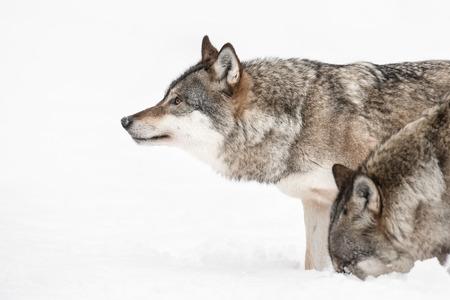 implacable: Un loup gris regardant au loin tandis qu'un autre membre pack �tudie un parfum sous la neige.