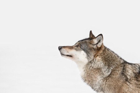 A profile of a Grey Wolf looking into the distance because its attention has been caught by movement on some higher ground to the left of frame.