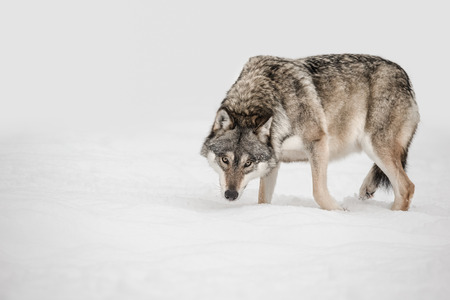 A solitary lone wolf prowls through snow with its head hung low watching its potential prey - the photographer. Standard-Bild