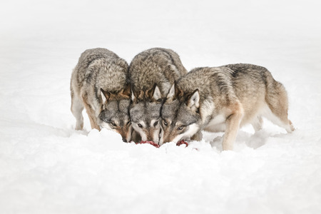 Three Grey Wolves feeding with their heads together while looking directly at the camera. Standard-Bild