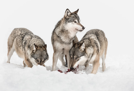 Three Grey Wolves, two are feeding on scraps of meat but one has its attention focused on something outside frame right.