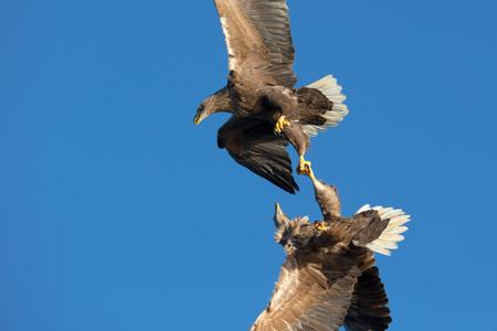 clash: Dos cola blanca Sea Eagles choque en el aire en una pelea muy r�pido o lucha por los l�mites territoriales.