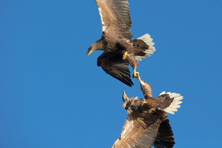 clash: Two White-tailed Sea Eagles clash in midair in a very quick fight or tussle over territory boundaries.
