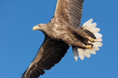 sea eagle: An adult White-tailed sea eagle soaring against a vivid blue winter sky.