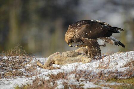 overwhelm: A large female Golden Eagle scavenging on a dead Roe Deer.