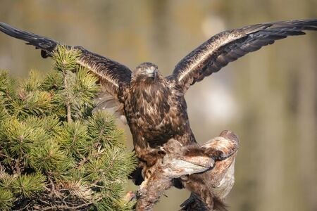 overwhelm: A young male Golden Eagle uses his wings to balance while he gets a firm hold of a Pine Marten and the branch of a tree.
