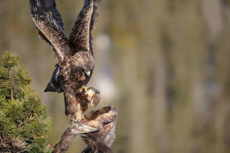 talons: A young male Golden Eagle uses his wings to balance while he gets a firm hold of a Pine Marten and the branch of a tree.