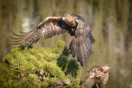 A young male Golden Eagle flies away from his Pine Marten meal, his wings casting a shadow on the pine tree in which he was sitting. Stock Photo