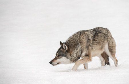 A solitary lone wolf prowls through snow with its head hung low watching its potential prey.