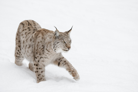 A Eurasian Lynx slowly walking through the snow and looking at the camera. Eurasian Lynx slowly walking through the snow.
