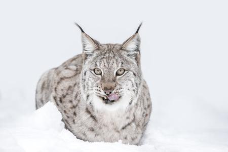 looking towards camera: A Eurasian Lynx lying down in the snow, looking towards the camera and licking its lips. Stock Photo