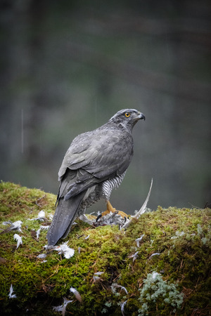 bird eating raptors: A mature male Goshawk feeding on its prey. A very secretive bird, living in the darkness of the deep forest, this bird is rarely seen by humans