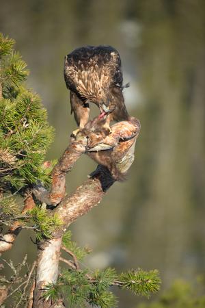 aguila real: Un varón joven Golden Eagle alimentándose de una marta de pino en la rama de un pino nudoso.