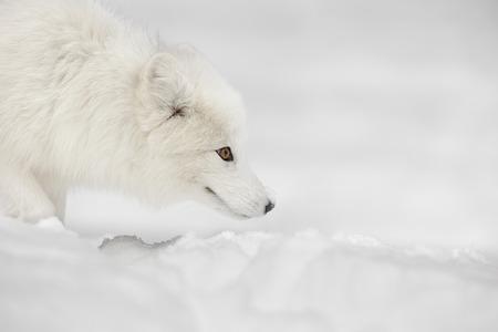 듣고 눈 아래 움직이는 먹이를 보면서 그 겨울 코트에서 북극 여우는 움직이지 않는 의미합니다.