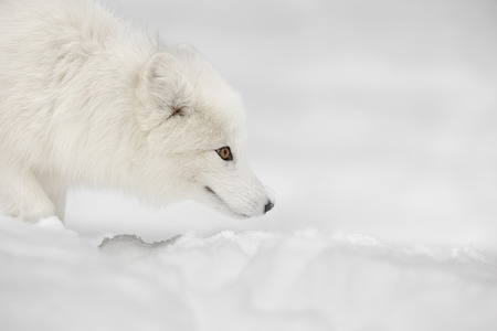 An Arctic Fox in its winter coat stands motionless while listening and watching for prey moving under the snow.