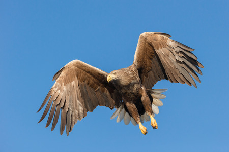 failed attempt: Set against a vivid blue winter sky this White-tailed Eagle is pulling up after a failed attempt to catch a fish from the cold coastal waters of Norway. Stock Photo