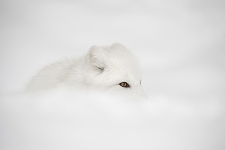 undulation: An Arctic Fox lies nearly hidden from view behind an undulation in her snow-covered domain. Stock Photo