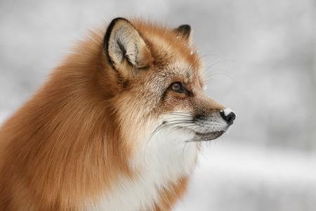 긴 겨울 코트에 스 칸디 나 비아 붉은 여우.
