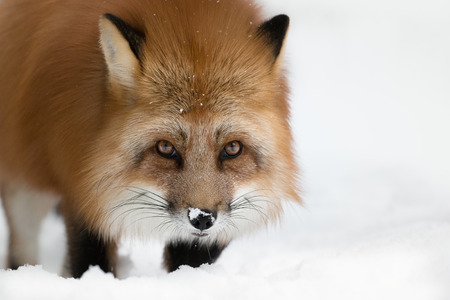 A Scandinavian Red Fox in its long winter coat looking at the camera.