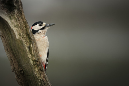 suggests: A male Great Spotted Woodpecker. The blood staining on his chest suggests that he has possibly been attacked by a sparrowhawk.