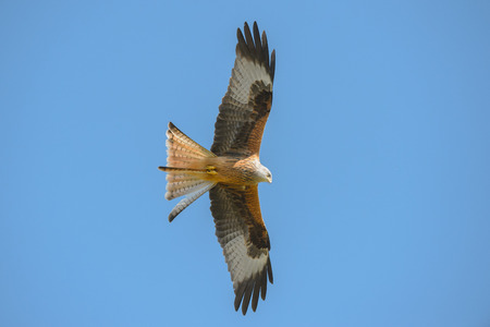 A Red Kite flying against a blue sky background.