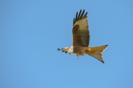 A Red Kite flying against a blue sky background holding food in its talons and feeding on the wing. Standard-Bild